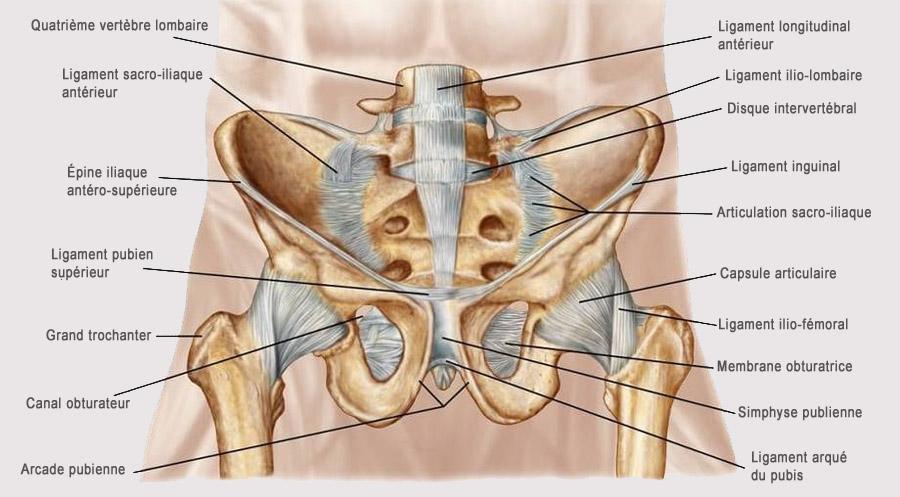 Anatomie bas du dos